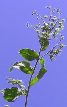Brunnera orientalis (Schenk) I.M.Johnst.