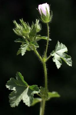 נטופית שעירה Althaea hirsuta L.