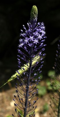 Scilla hyacinthoides L.