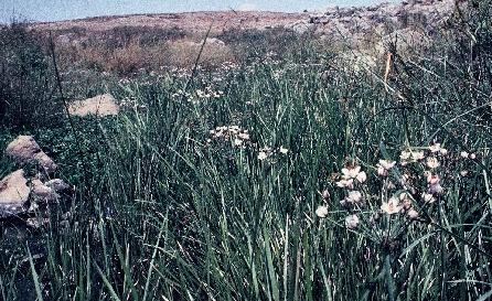 בוציץ סוככני Butomus umbellatus L.