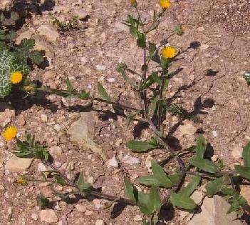 ציפורני-חתול מצויות Calendula arvensis L.