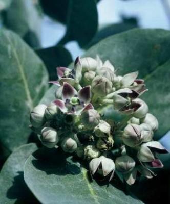 Calotropis procera (Aiton) Aiton f.