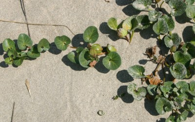 עשבים רב-שנתיים שרועים של חולות חוף הים התיכון. העלים דמויי כליה.