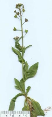 ילקוט הרועים Capsella bursa-pastoris (L.) Medik.
