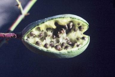 צמחים ירוקים קרחים או מקריחים. הפרי הפתוח בעל דופן פנימית לבנה.