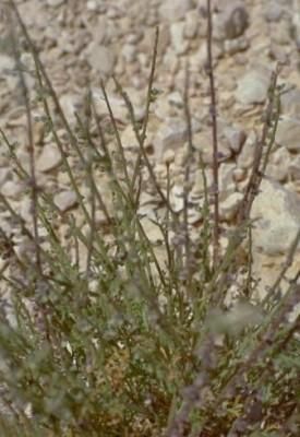 כפיות שעירות Carrichtera annua (L.) DC.