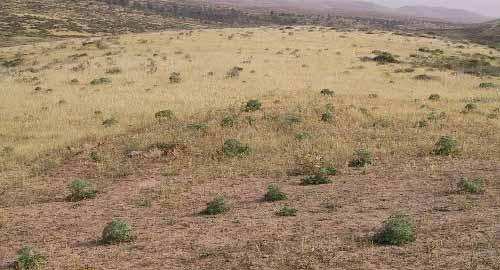 נעצוצית סבוכה Cardopatium corymbosum (L.) Pers.