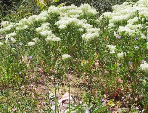 קרדריה מצויה Cardaria draba (L.) Desv.