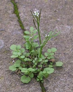 קרדמין שעיר Cardamine hirsuta L.