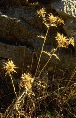 קיצנית צפופת-עלים Carlina libanotica Boiss.