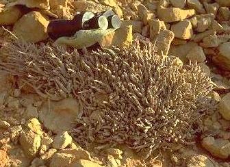 אצבוע ים-המלח Caralluma sinaica (Decne.) A.Berger