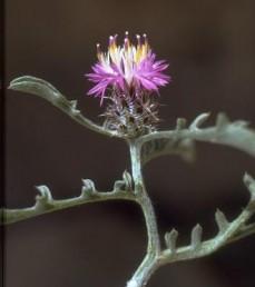עשבים חד-שנתיים שרועים הגדלים בצומח הערבות הפרחים ההיקפיים גדולים וורודים, פרחי המרכז צהבהבים.