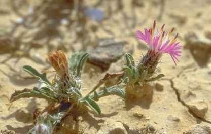 דרדר הערבות Centaurea ammocyanus Boiss.