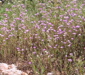 עשבים חד-שנתיים זקופים יוצרי מרבדים בהרי החבל הים-תיכוני.