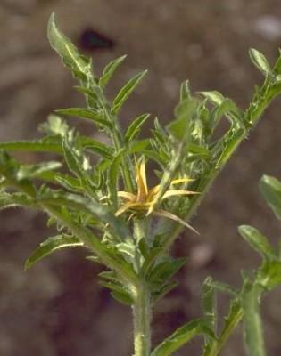 Centaurea iberica Spreng.