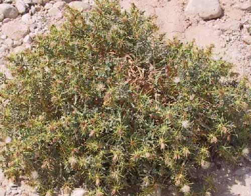 דרדר צמרני Centaurea lanulata Eig