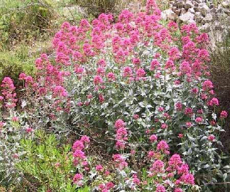 חד-אבקן אדום Centranthus ruber (L.) DC.