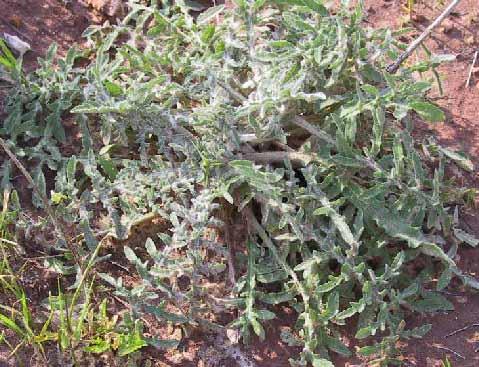דרדר הקורים Centaurea procurrens Spreng.