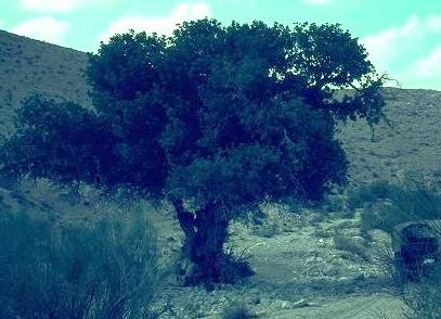 Ceratonia siliqua L.