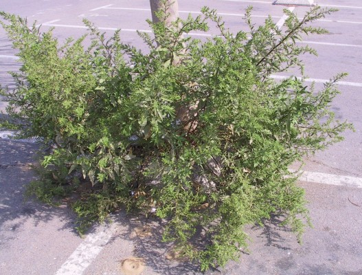 Chenopodium ambrosioides L.