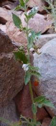 העלים בעלי שיניים ומפרצים או אונות קהות ושוות. אונות הגביע ארוכות מרוחבן. הפירות אדומים.