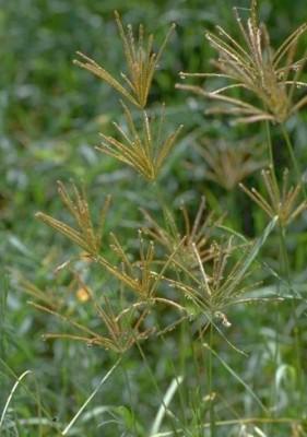 Chloris gayana Kunth