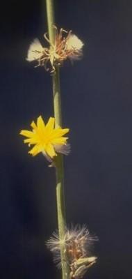 כונדרילה סמרנית Chondrilla juncea L.