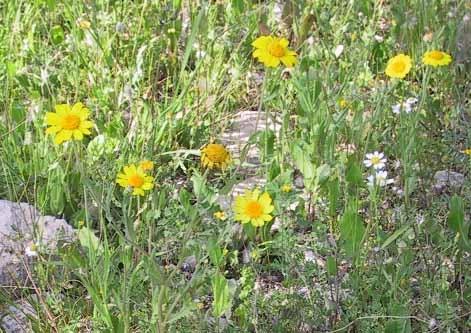 חרצית השדות Glebionis segetum (L.) Fourr.