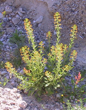 Cleome arabica L.