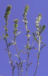 תריסנית מלולה Clypeola jonthlaspi L.