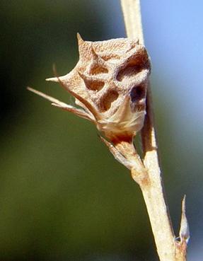 כרבולת קוטשי Onobrychis kotschyana Fensel