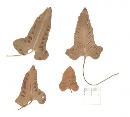גריזית נאה Asplenium sagittatum (DC.) A.J.Bange