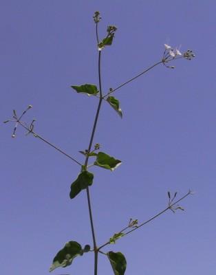 Commicarpus plumbagineus (Cav.) Standl.