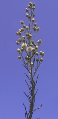 קייצת מסולסלת Erigeron bonariensis L.