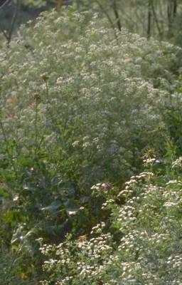 רוש עקוד Conium maculatum L.