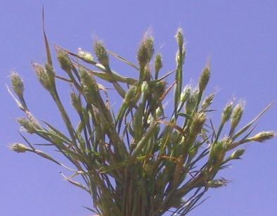 כוסנית ממולענת Cornucopiae alopecuroides L.