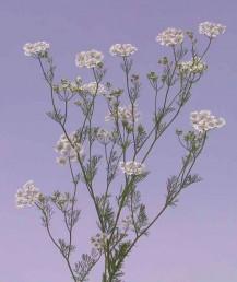 צמחים בעלי ריח חריף של כוסברה. מרבית העלים גזורים-מנוצים 3-2 פעמים.