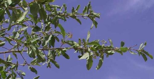 גופנן המדבר Cordia sinensis Lam.