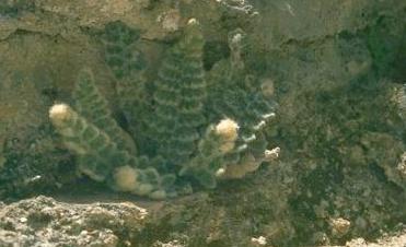 שרכרך הסלעים Cosentinia vellea (Aiton) Tod.