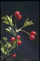 הפרי אדום, חד-גלעיני, קוטרו 7-5 מ