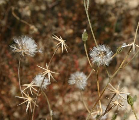 ניסנית שיכנית Crepis aculeata (DC.) Boiss.