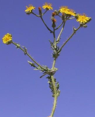 ניסנית זיפנית Crepis aspera L.