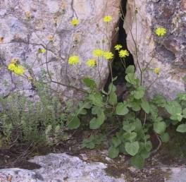 העלים שבבסיס הצמח בעלי אונות צדדיות מעוגלות.