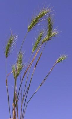בן-שעורה מצוי Crithopsis delileana (Schult. & Schult.f.) Roshev.