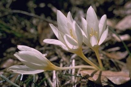 כרכום צהבהב Crocus ochroleucus Boiss. & Gaill.