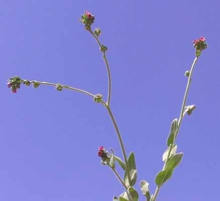 לשון-כלב הררית Cynoglossum montanum L.