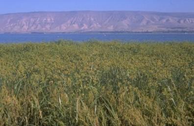 צמחים נפוצים בבתי-גידול לחים ולא מלוחים בחלקים רבים של הארץ.