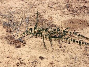 צמחים זוחלים, גובהם 15-5 (-40) ס