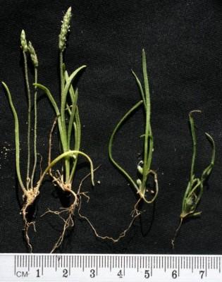 P. sabulosa (left) and P. crypsoides raised on sand in Jerusalem (seeds from Mashabe Sade)