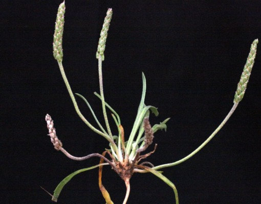 לחך החולות Plantago sabulosa Danin & Raus